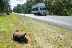 Dead Common Wombat
