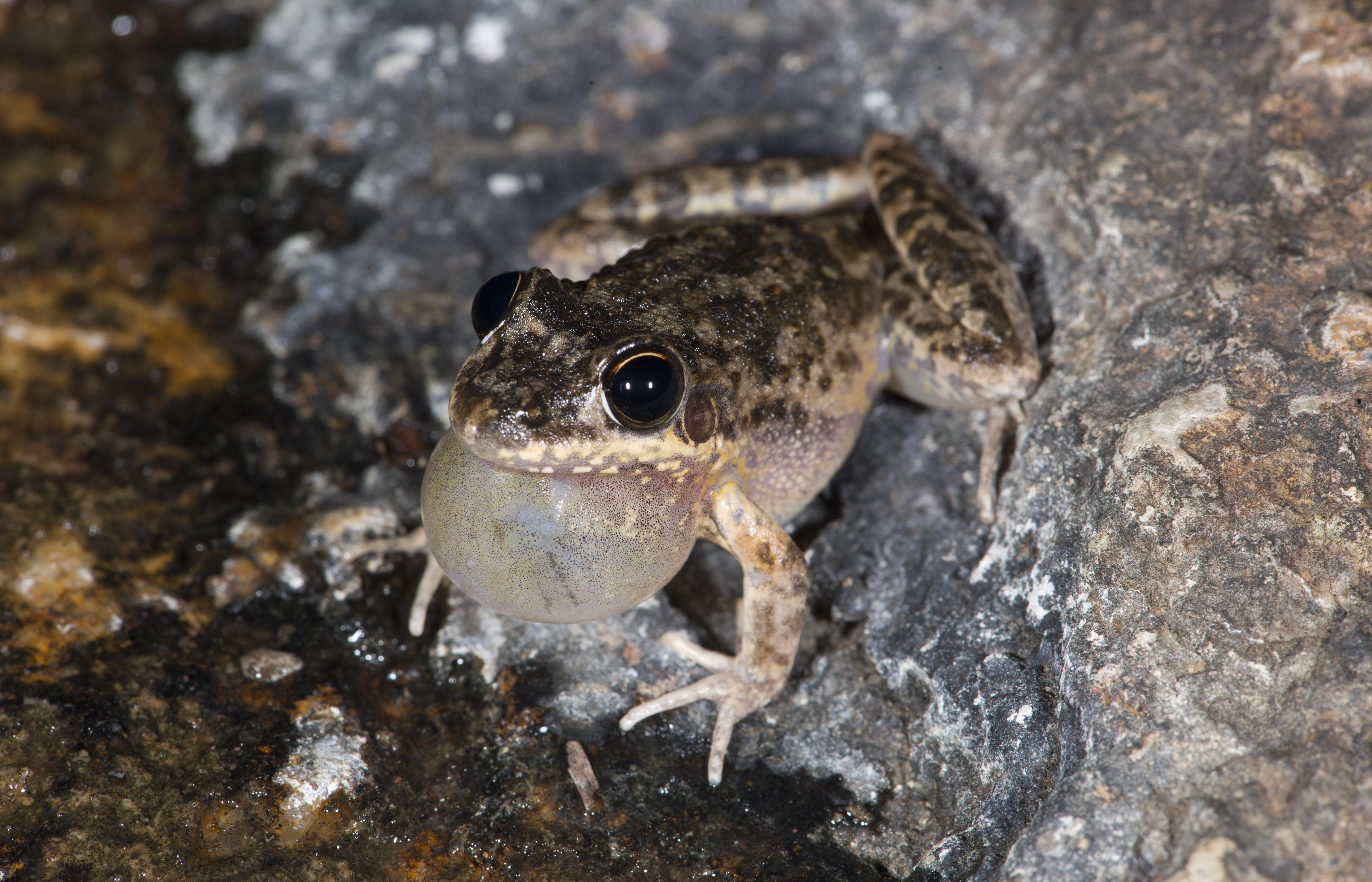Bumpy Rocketfrog