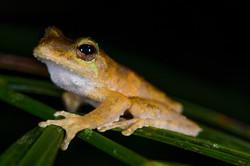 Kuranda Tree-frog