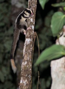Striped Possum
