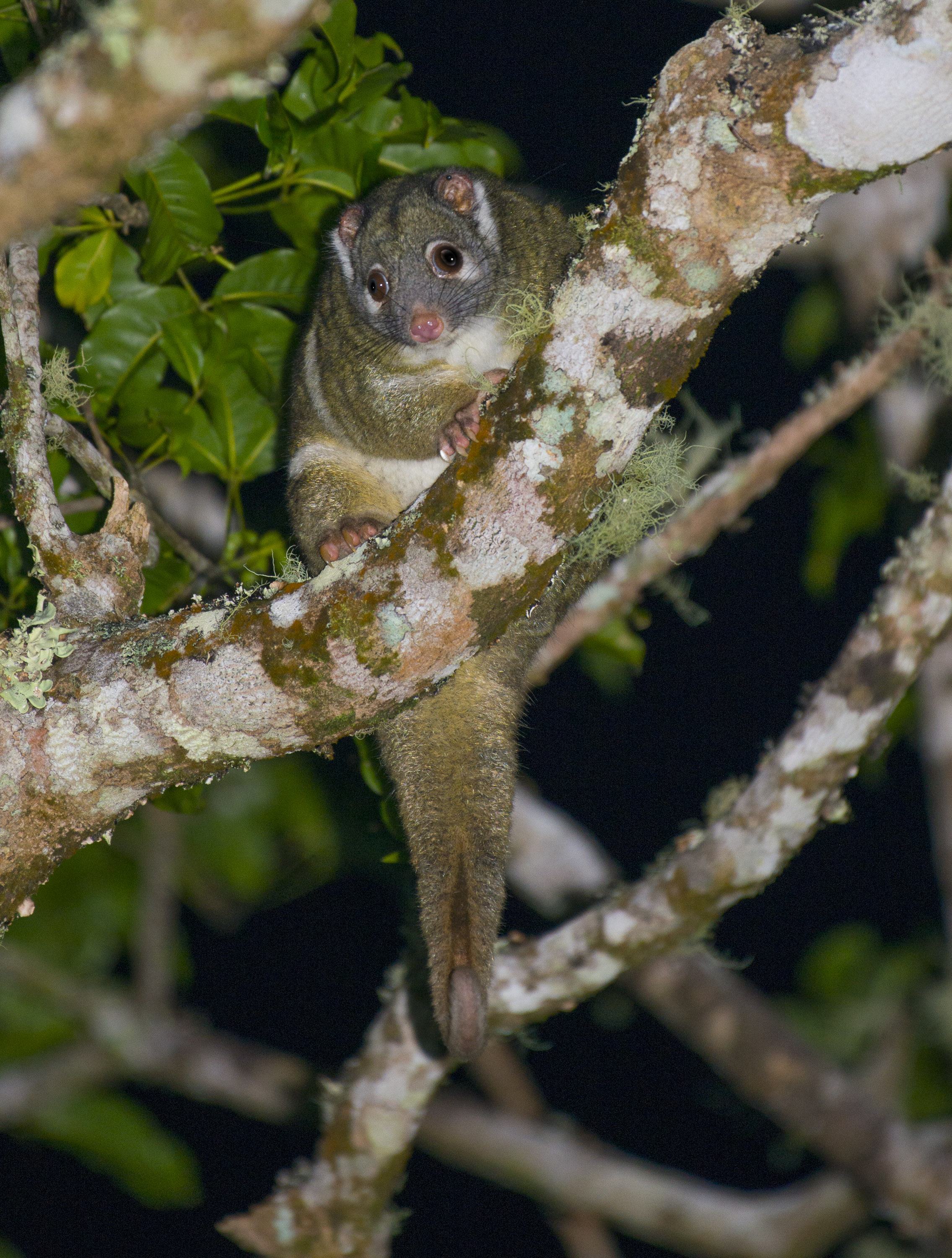 Green Ringtail Possum