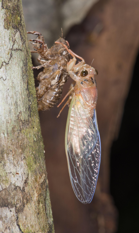 Northern Greengrocer Cicada