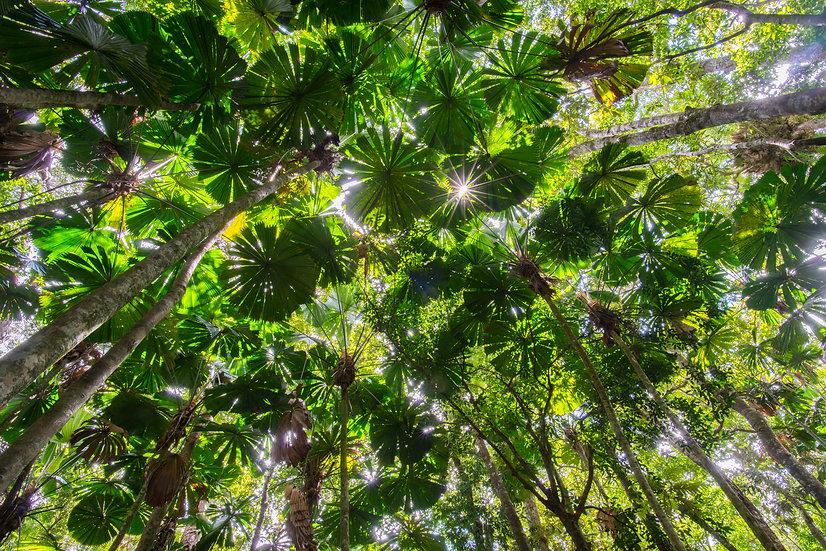 Prints | Rainforest | Licuala sky
