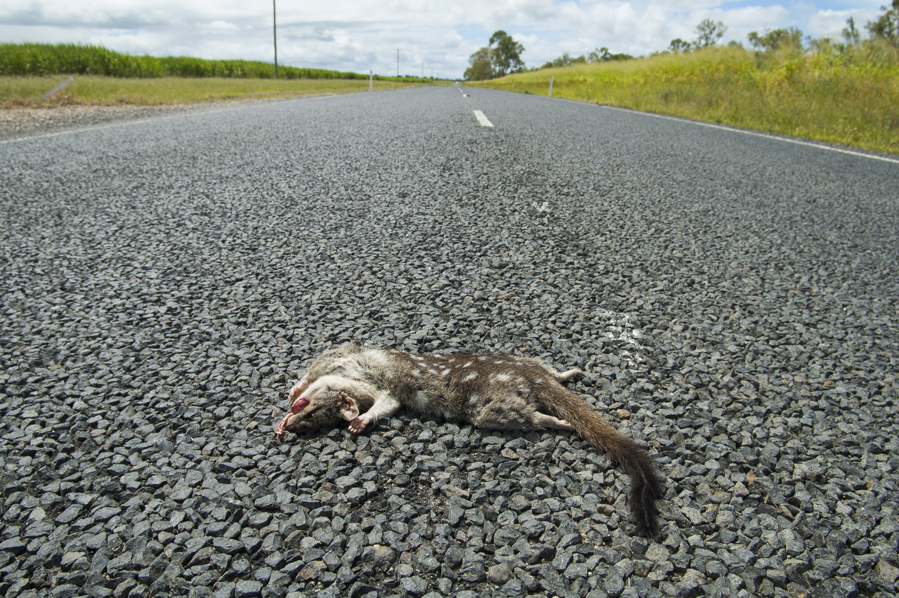 Dead Northern Quoll