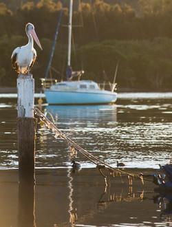 Australia Pelican.