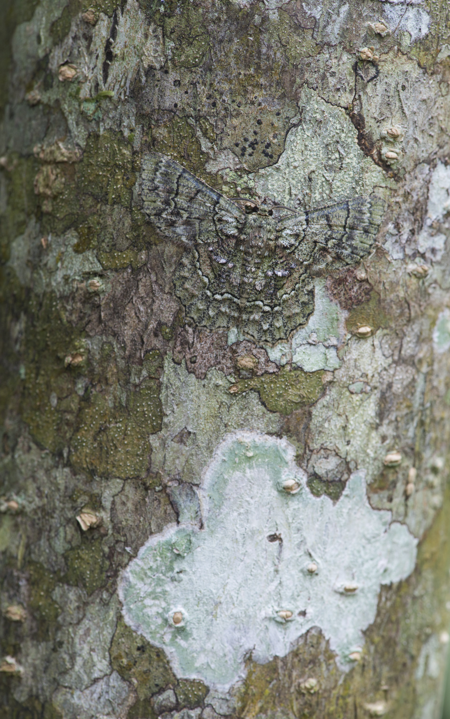 Camouflaged moth.