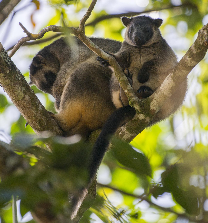 Lumholtz tree-kangaroo