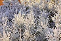 Forêt_de_sapins_floqués_Super_White_Snow