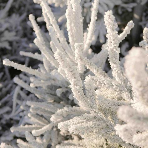 Sapins floqués neige artificielle Super White