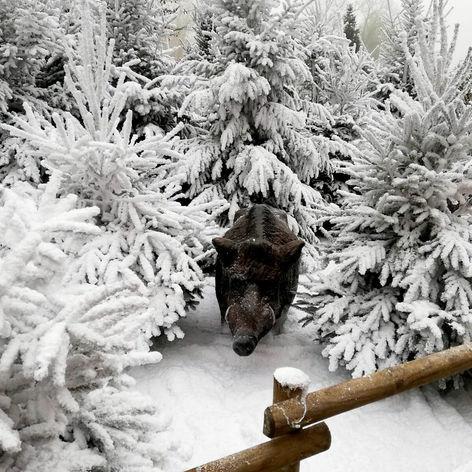 Sanglier dans la neige - Décor Pyrofolie's 2019