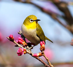 yellow%20bird%20on%20Sakura%20tree_edite