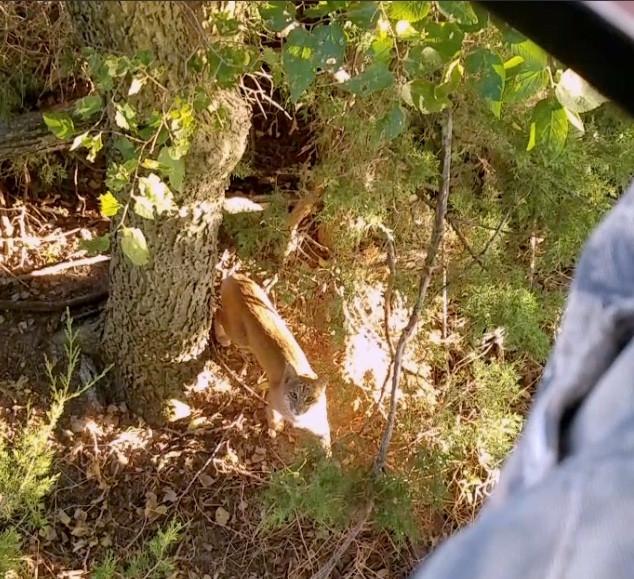 September Bobcat