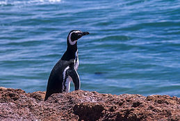 Magellanic_Penguin_-_Pen.Valdez_-_Argent