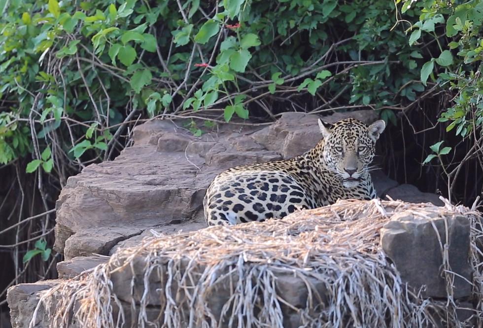 Pantanal Jaguar Tours