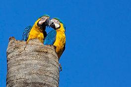 Blue-and-yellow Macaw Ara ararauna 10_08