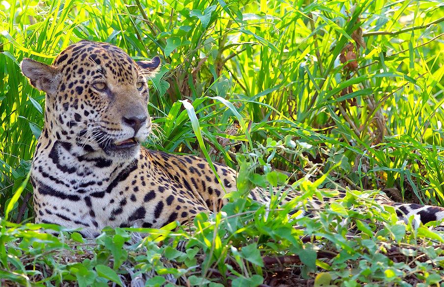 Onca Pintada, Jaguar 11_04_2020_9999_146