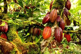 A-Cocoa-Plantation_edited.jpg