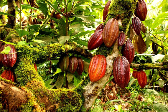 A-Cocoa-Plantation_edited.jpg