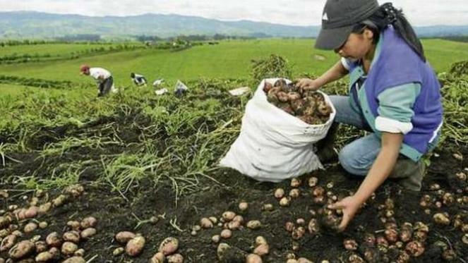 agricultora de papas.jpg