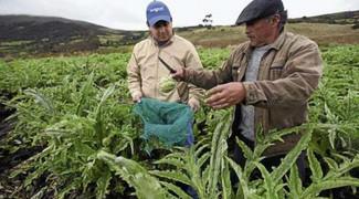 recolectores de alcachofa.jpg
