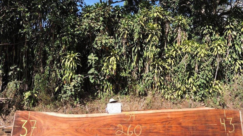 J21230 Parota Wood