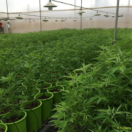 Candelay crop