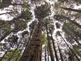 Redwoods i New Zealand, Lucy's Gully, Natur i New Zealand