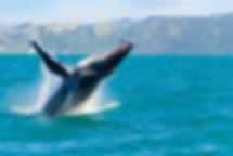 Hvaler ved Kaikoura, New Zealand, Natur
