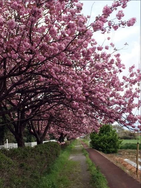 八重桜が満開です