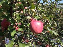 薬石林檎,やくせきりんご,ふじ