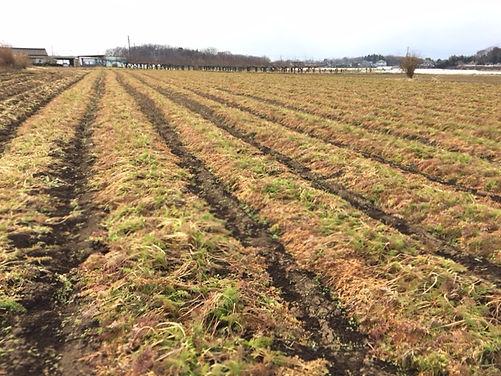 自然栽培 にんじん 収穫時期
