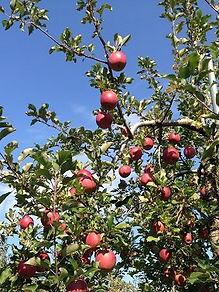 薬石林檎,やくせきりんご,圃場