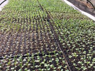 野菜が少しづつ成長してきています!