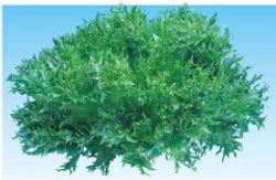 茨城県 有機野菜 フリルレタス ハンサムグリーン