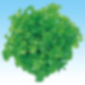 茨城県 有機野菜 フリルレタス グリーンオーク