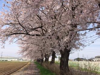 茨城県筑西市も桜が満開です!
