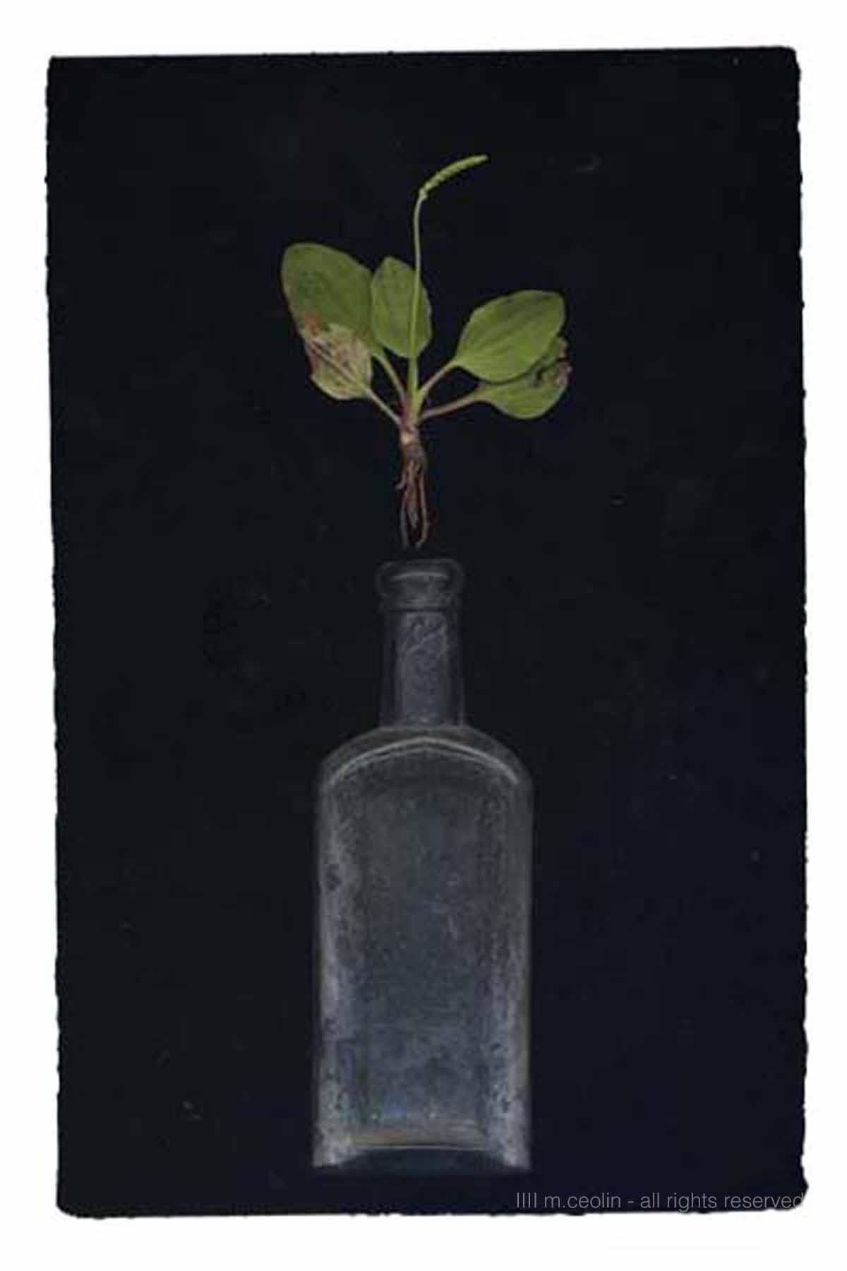 apothecairn plantain