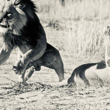 Lion mating in Kgalagadi National Park