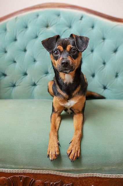 Agave Dog Rescue - dog on couch