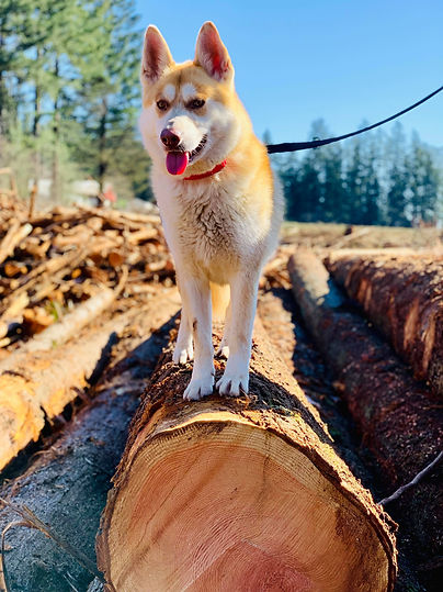 Agave Dogs Rescue - Husky