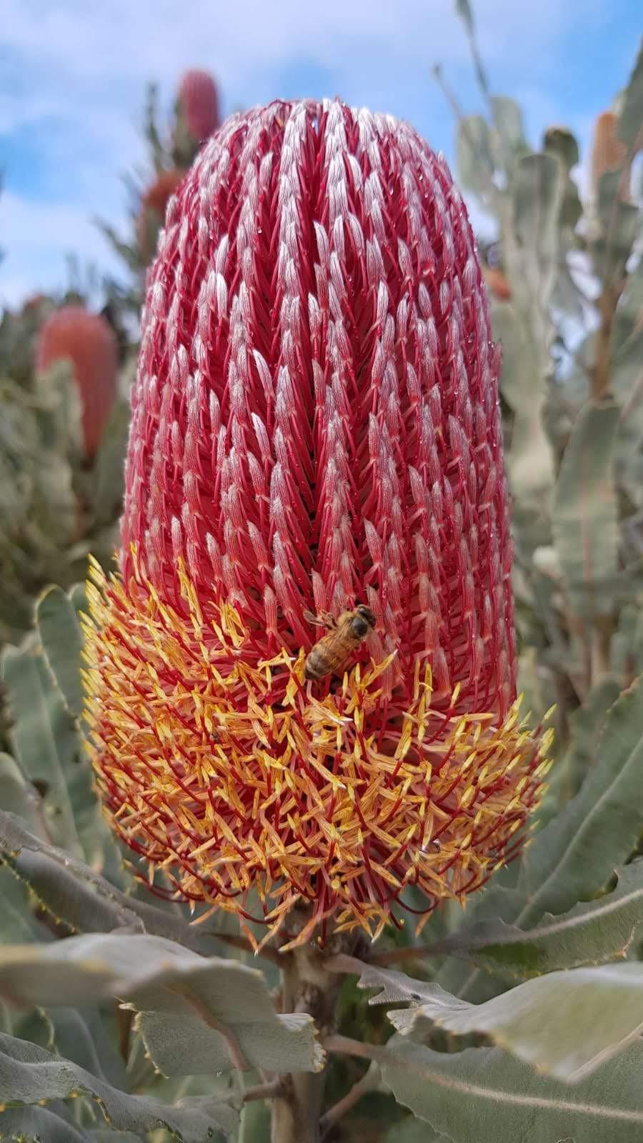 Batch 16- Banksia Menziesii