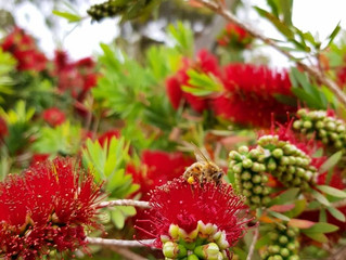 Batch No. 13 - Red Bottlebrush (Sold out)