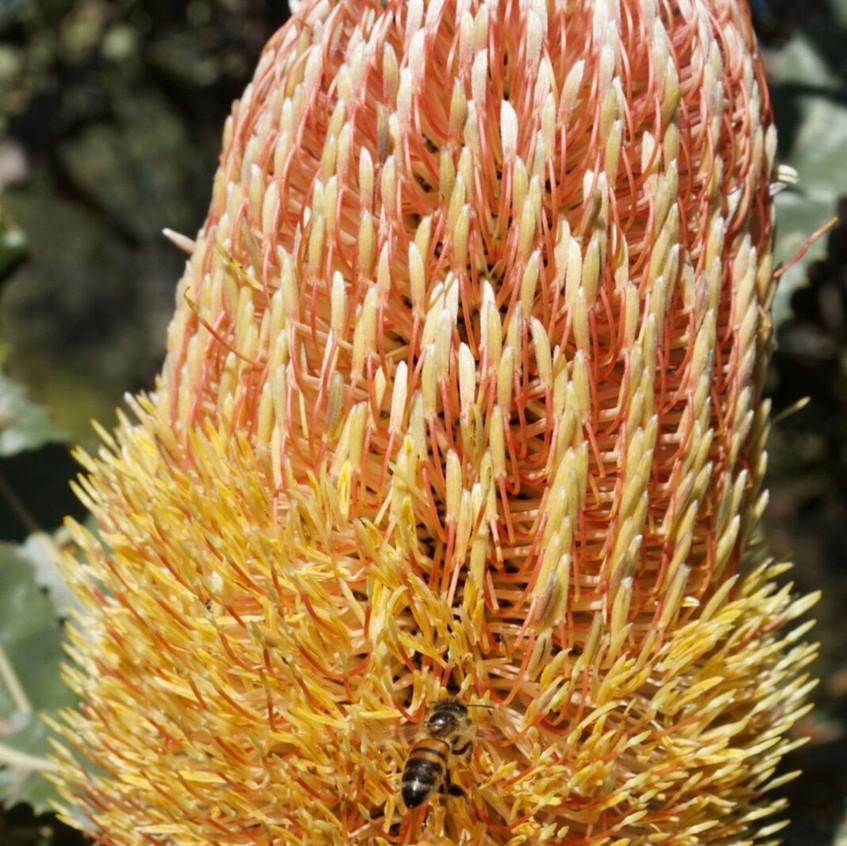 Firewood Banksia