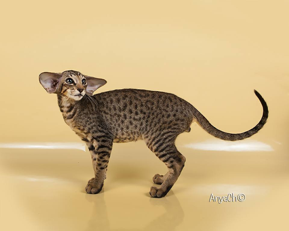 beautiful oriental cat black spotted