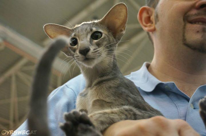 gatta orientale a pelo corto