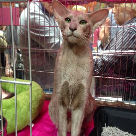 Livorno International Cat Show (FIFE)