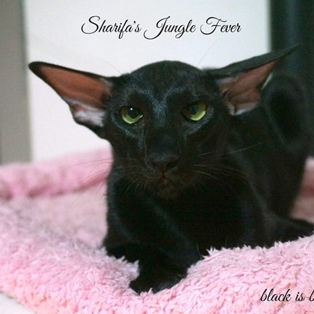 Sharifa's Jungle Fever JUNIOR WINNER!!!