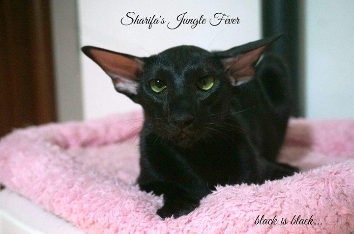 gatto orientale nero occhi verdi