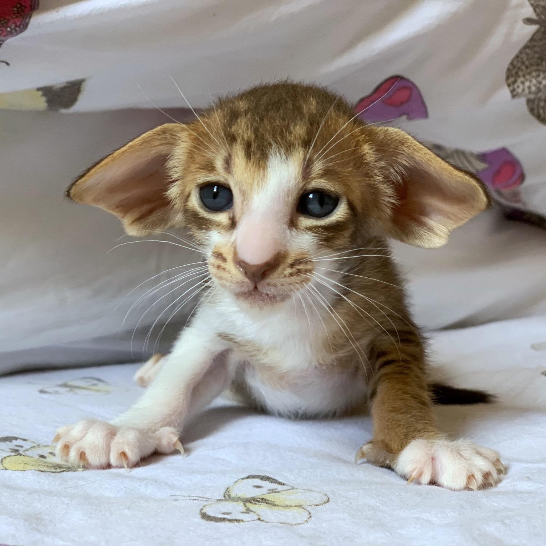 Meowly Cyrus