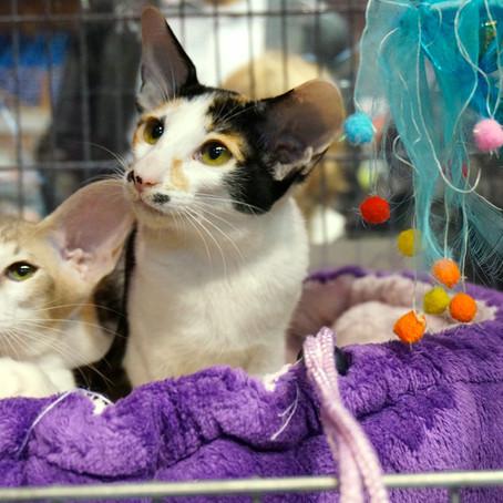 Salsomaggiore International Cat Show (Anfi - FIFE)